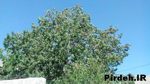 درخت گیلاس در روستا پیرده